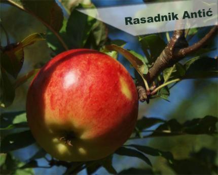 Rasad voćnih sadnica sve vrste