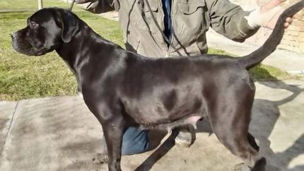 CANE CORSO - psi sampionskog porekla