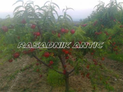 Sadnice voća za jesenju sadnju još par dana