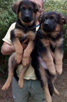 NEMAČKI OVČAR vrhunski štenci