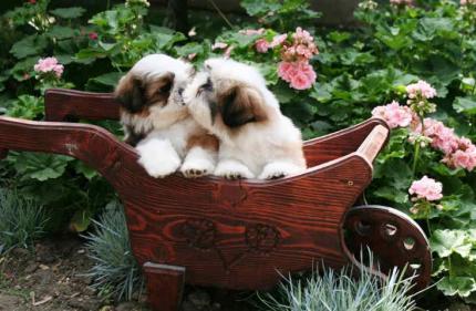 ŠI-CU štenci odličnog kvaliteta