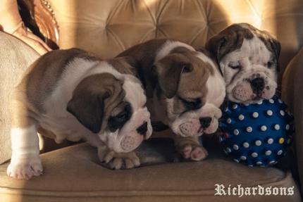 Prodaju se štenci engleskog buldoga šampionskog