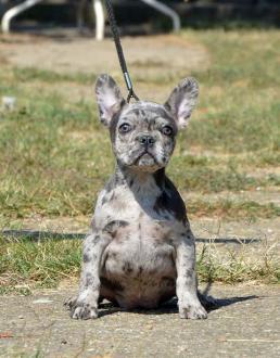 Francuski BULDOG stenci i odrasli psi
