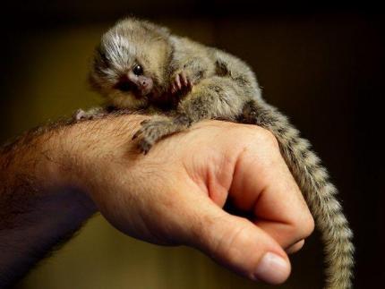 Majmuni beba marmozeta za usvajanje