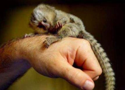 Majmuni beba marmozeta za usvajanje.