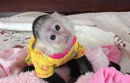 Baby majmuni kapucini na usvajanje.