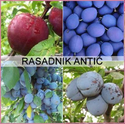 Vrhunski rasad voća razne vrste