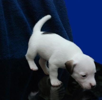 D�ek Rasel terijer - Jack Russell Terrier